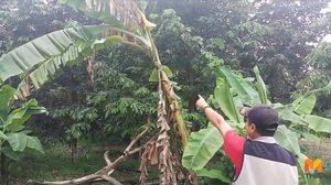 กล้วยหายบ่อยจนต้องติดGPSตามหัวขโมย