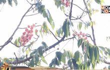 ดอกชมพูภูคา ออกดอกครั้งแรกของปี