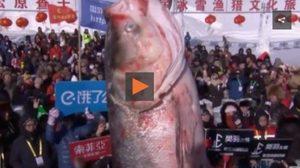 """ขาย """"ปลายักษ์"""" 4.4 ล้านบาทจากเทศกาลจับปลา"""