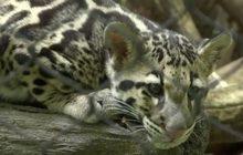 เสือลายเมฆคู่แรกในสวนสัตว์กรุงวอชิงตันดีซี