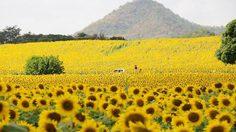 13 ทุ่งทานตะวัน ทั่วไทย เที่ยวฟิน ถ่ายรูปสวย