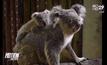 """สวนสัตว์เปิดเขาเขียว เปิดตัว """"ลูกโคอาลา"""""""