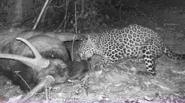 เปิดภาพเสือดาว ขย้ำซากกวางป่า ในอุทยานฯ แก่งกระจาน