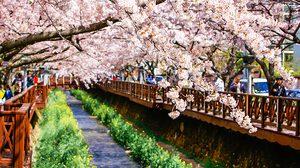 9 เทศกาลชม ดอกไม้ในเกาหลี 2019 มาทั้งทีห้ามพลาด!