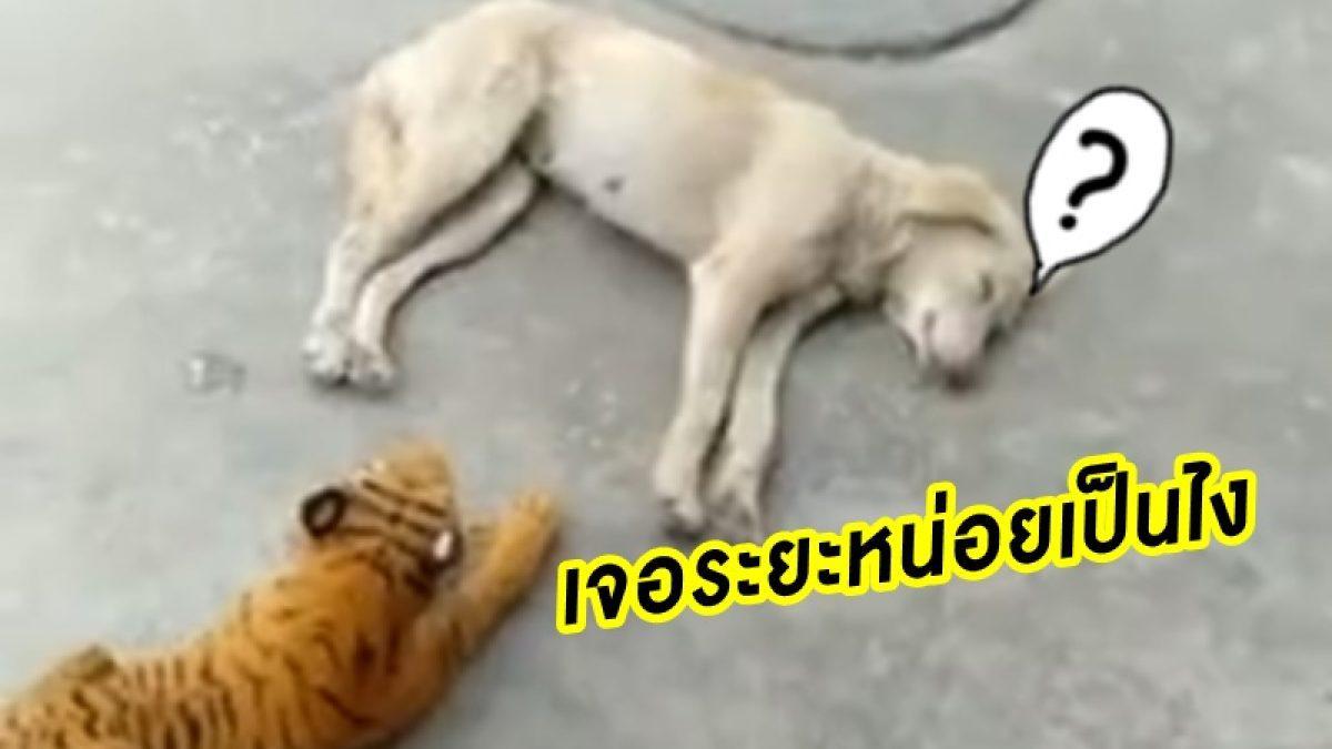 ลองกับหมาอีกตัว! เมื่อ เอาตุ๊กตาเสือ มาวางแกล้งหมา ในระยะเผาขน จะเป็นยังไง