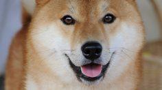 26 Asian Dog Breeds