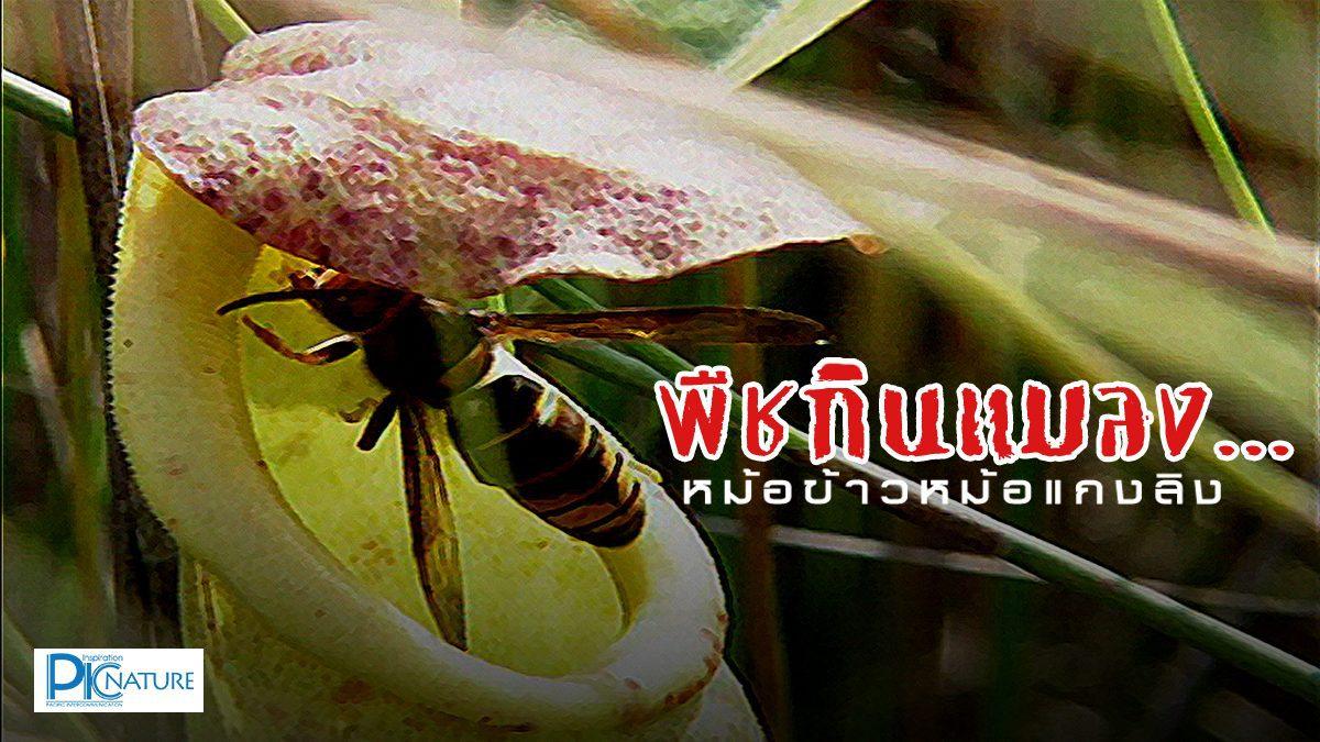 พืชกินแมลง (หม้อข้าวหม้อแกงลิง)
