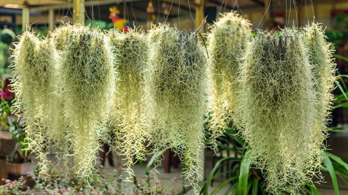 วิธีปลูกต้นเคราฤาษี ไม้ประดับเลี้ยงง่าย กันฝุ่นดูดความชื้นในบ้าน