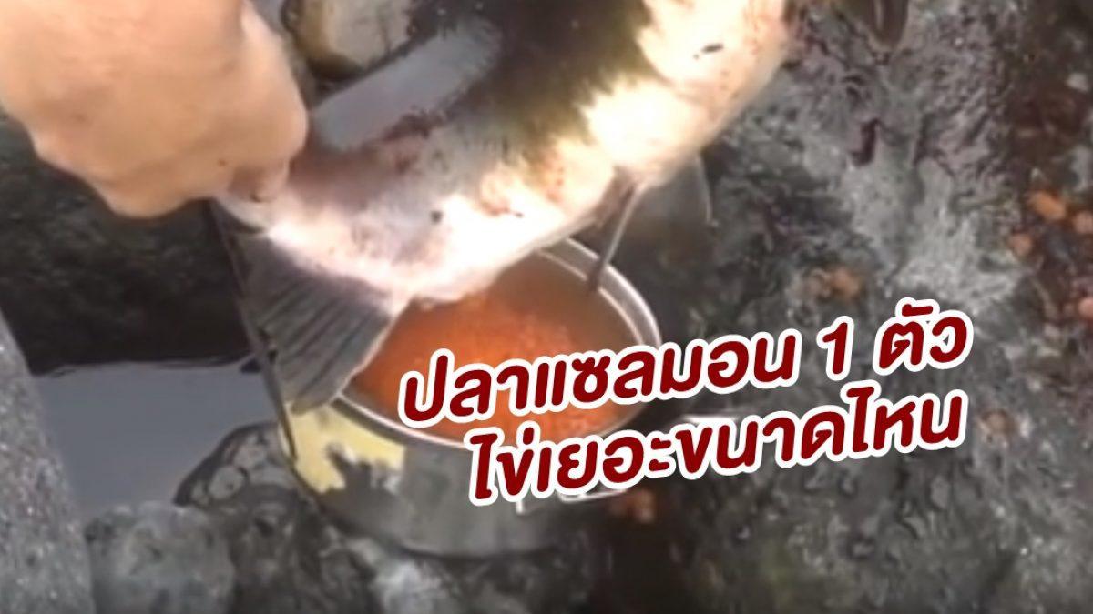 ถึงบางอ้อ! โชว์วิธีรีดไข่ปลาแซลมอนกันสดๆ 1 ตัว มันได้เยอะมว๊ากก
