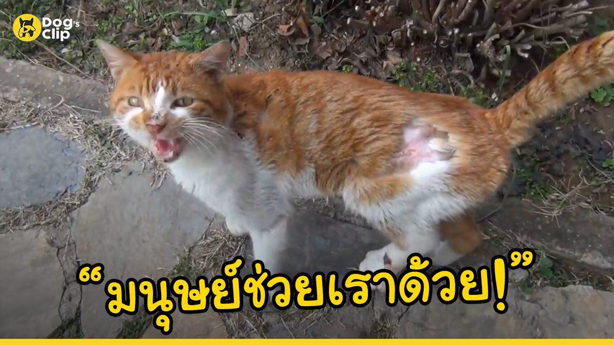 แมวจรจัดเคาะประตูหน้าบ้านชายหนุ่มขอความช่วยเหลือ