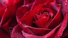 ตัวช่วยง่ายๆรักษา ดอกกุหลาบ ให้สดแถมอยู่ได้นานยิ่งขึ้น