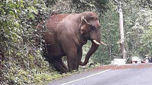 น่ารักน่าชัง! ภาพช้างอ้วนจ้ำม่ำ พุงพลุ้ย โผล่ริมถนนเขาใหญ่