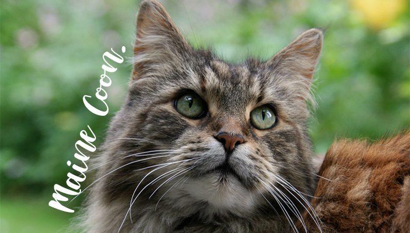 9 เรื่องน่ารู้เกี่ยวกับแมวตัวยักษ์ น่ารัก น่ากอด สายพันธุ์ เมนคูน Maine Coon