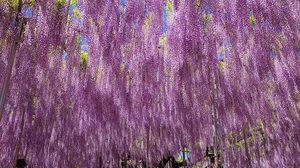 สุดอลังการ ต้นวิสทีเรีย (Wisteria) อายุกว่า 146 ปี ที่ญี่ปุ่น