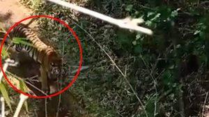 เปิดข้อปฏิบัติ หากเจอเสือในป่า ให้หยุดรถ ห้ามวิ่งเด็ดขาด