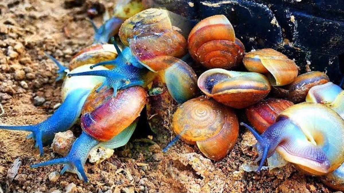 เมือกหอยทากไทย ใช้ทำเครื่องสำอาง : Slime from Thai snails can be used to make cosmetics.: 泰国蜗牛的史莱姆