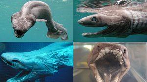 หาดูยาก ปลาฉลามครุย จากยุคดึกดำบรรพ์ เมื่อ 65 ล้านปีก่อน