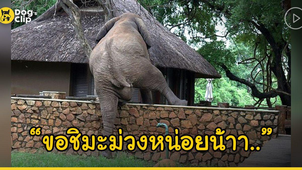ช้างจอมซนแอบย่องปีนรั้วเข้าไปขโมยมะม่วงในบ้านพักของรีสอร์ต ก่อนจะปีนกลับออกมาแบบเงียบๆ