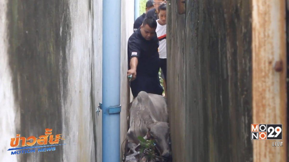 กู้ภัยช่วยวัวท้องติดซอกกำแพงปูน จ.ปทุมธานี