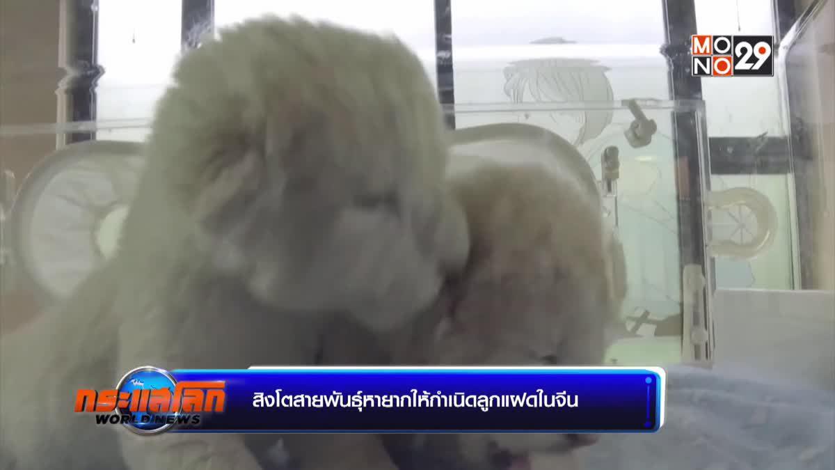 สิงโตสายพันธุ์หายากให้กำเนิดลูกแฝดในจีน