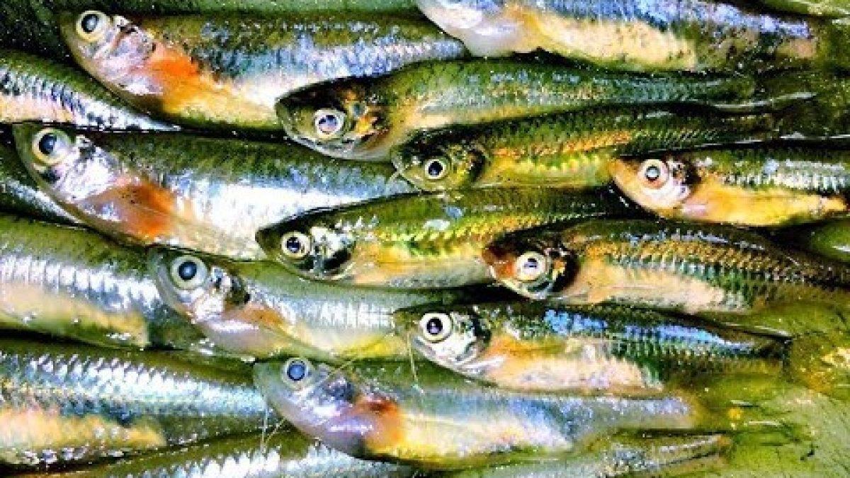 ใช้ชีวิตในป่ากับสราวุฒิ : แอ๊บปลาซิว (Catch Minnow fishes to cook / 钓鱼做饭)