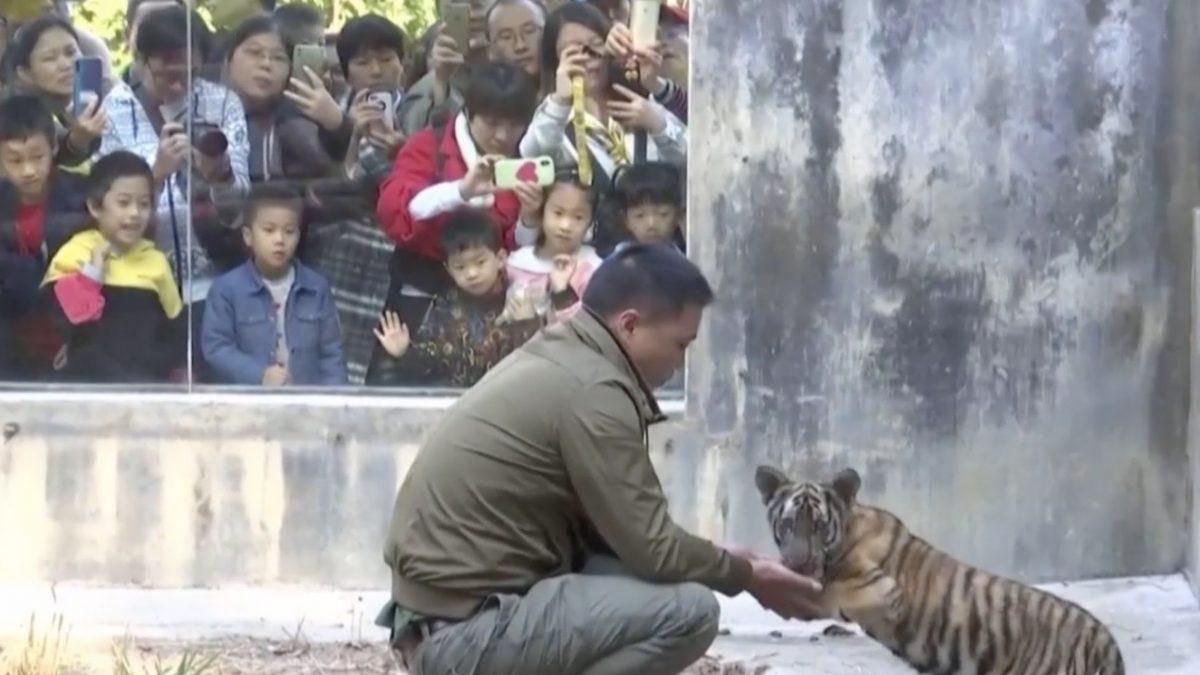 ศูนย์ขยายพันธุ์เสือในจีนเปิดให้คนชมเสือหายาก
