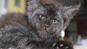อึ้งไป1วิ! แมวเมนคูน Valkyrie วัย 2 เดือน ที่บังเอิญหน้าเหมือนมนุษย์