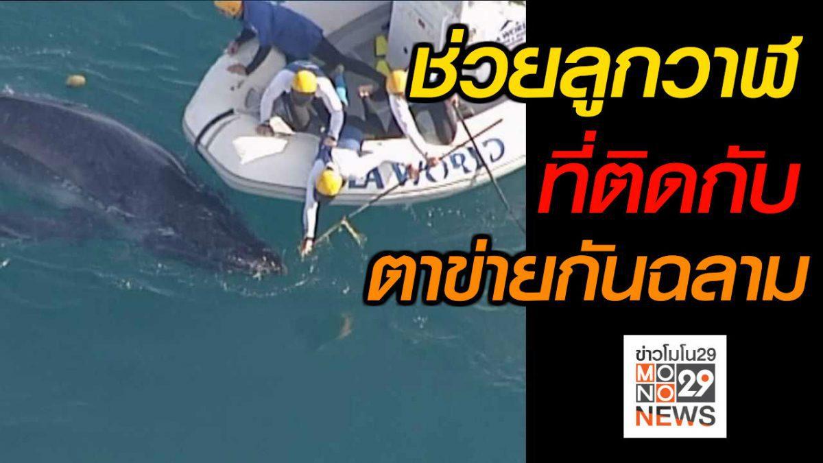 #เรื่องเล่ารอบโลก ช่วยลูกวาฬติดตาข่ายกันฉลาม