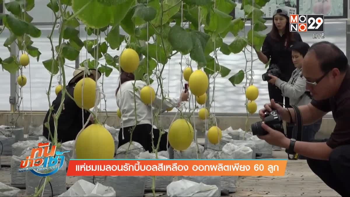 แห่ชมเมลอนรักบี้บอลสีเหลือง ออกผลิตเพียง 60 ลูก