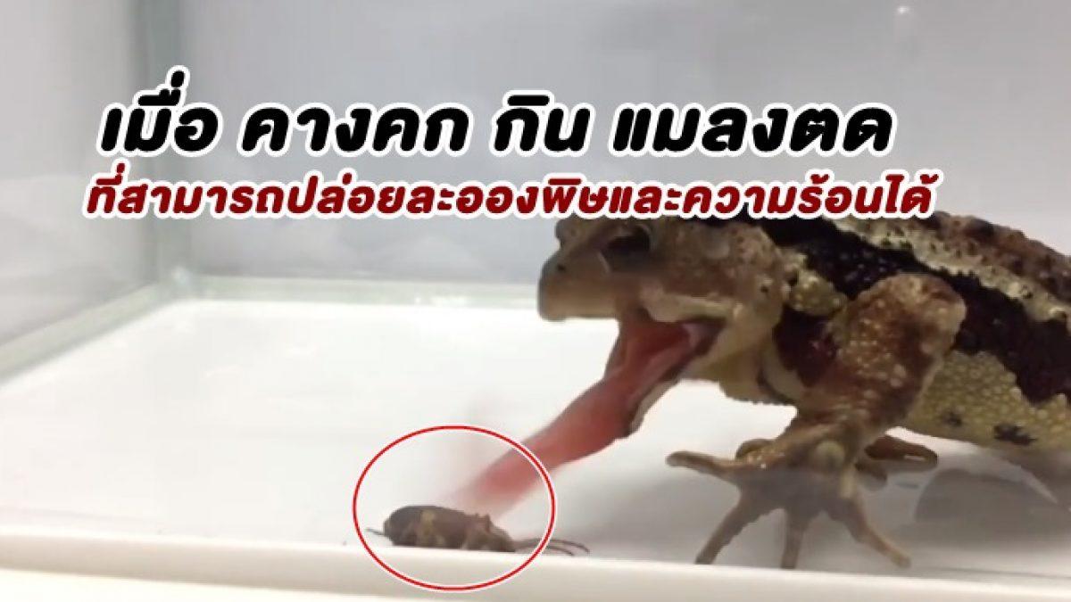 88 นาที ต่อมาจะเป็นยังไง! เมือ คางคก กิน แมลงตด ที่สามารถปล่อยละอองสารพิษที่มีความร้อนได้
