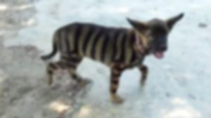งงนึกว่าเสือ! พบ 'สุนัขลายพาดกลอน' ออกวิ่งเล่นกับเด็กๆ