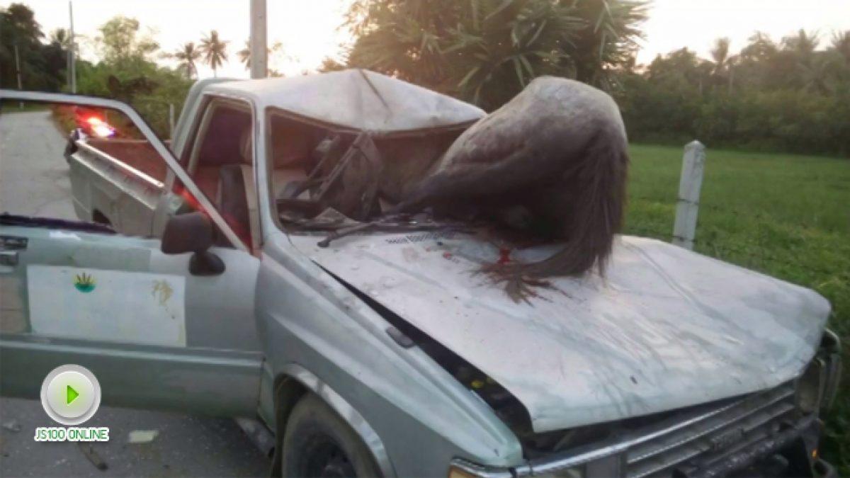 ม้าสีหมอกเพศเมียวิ่งตัดหน้ารถกระบะ ถูกชนติดคากระจกหน้ารถได้รับบาดเจ็บ (11-12-60)