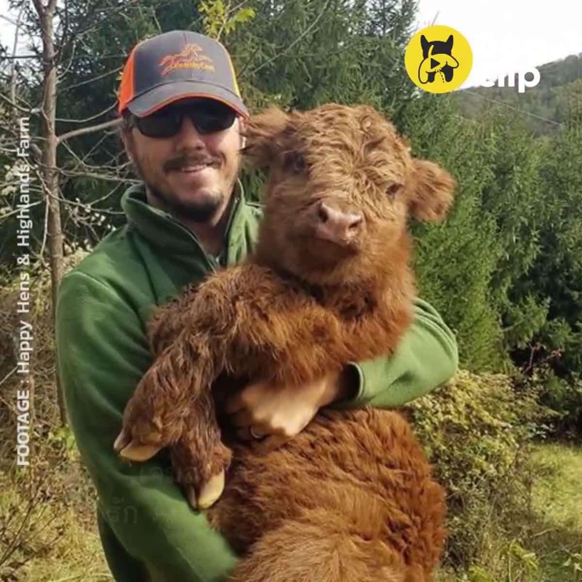 เจมส์วัวไฮแลนด์ที่คิดว่าตัวเองเป็นหมา