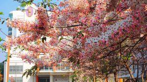 ดอกกัลปพฤกษ์ ม.ขอนแก่น ห้อยระย้าสีชมพู สวยงามรับลมร้อน