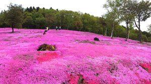เที่ยวฮอกไกโด ชมพิงค์มอส (Shibazakura) ที่สวนทาคิโนะอุเอะ (Takinoue Park )