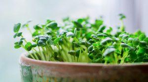 วิธีปลูกผักจิ๋ว ไมโครกรีน ต้นอ่อนสารพัดประโยชน์ภายในบ้าน
