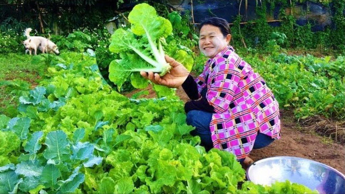 วิธีปลูกผักกาดขาว : How to Grow Chinese Cabbage : 如何种植大白菜