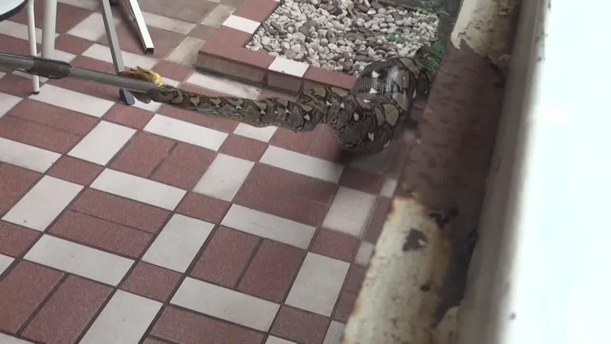 งูเหลือม ใหญ่เกือบ 5 เมตร เขมือบสุนัข 1 ตัว อิ่มจนแน่นเลื้อยต่อไม่ไหว