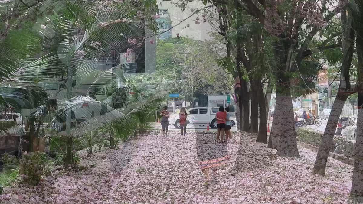 สวยงาม!! 'ดอกชมพูพันธุ์ทิพย์' บานสะพรั่งที่กระทรวงสาธารณสุข