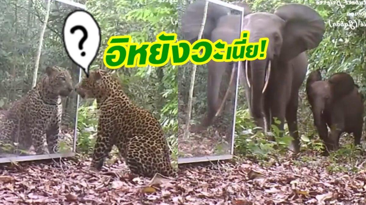 จะมีปฏิกิริยายังไง! เมื่อ เสือดาว & ช้างป่า ได้เจอกระจกเป็นครั้งแรก