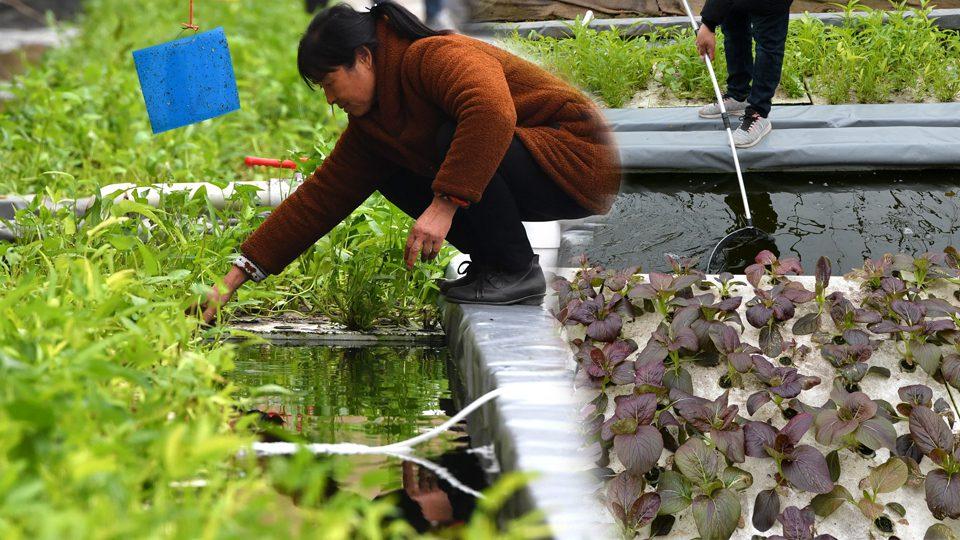 เกษตรวิถีใหม่ 'เลี้ยงปลา-ปลูกผัก' ควบคู่กัน