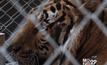 อส.เร่งย้ายเสือโคร่งออกจากวัดป่าหลวงตาบัวฯ