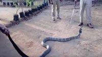 มีตะลึง! เมื่อได้เห็น ชาวบ้านอินเดียทำสิ่งๆ นี้ให้งูจงอางยักษ์ ที่เลื้อยผ่านทะเลทรายมา