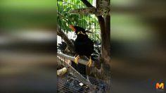 สีสันก่อนหวยออก!! นกขุนทองแสนรู้ ใบ้หวยย้ำชัดแจ๋ว