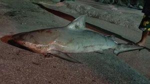 ชาวบ้านเจอฉลามที่บางแสน