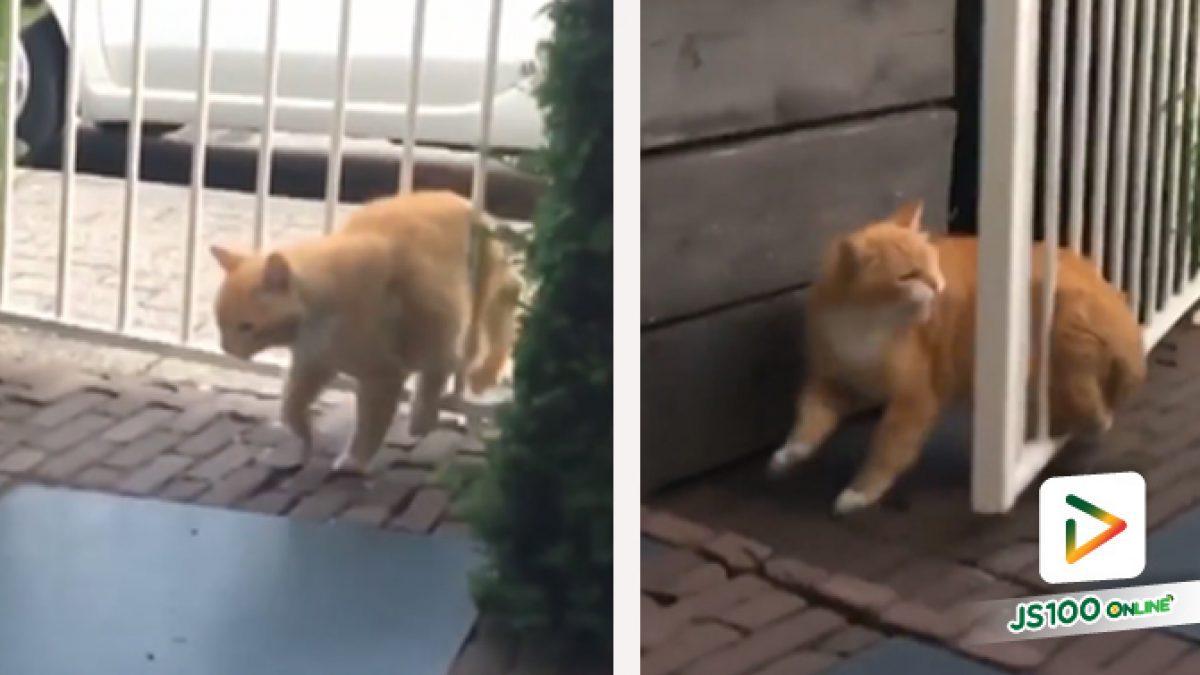 ปัดโธ่! ประตูรั้วนี่ แกทำให้แมวอย่างฉันดูแย่..
