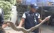 งูเหลือมยาว 4 เมตร ขโมยกินลูกไก่