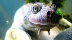 เคยเห็นไหม??  เต่าพังก์ โคตรเฟี้ยวที่ควีนส์แลนด์ ก่อนถูกจัดเป็นสัตว์ใกล้สูญพันธุ์