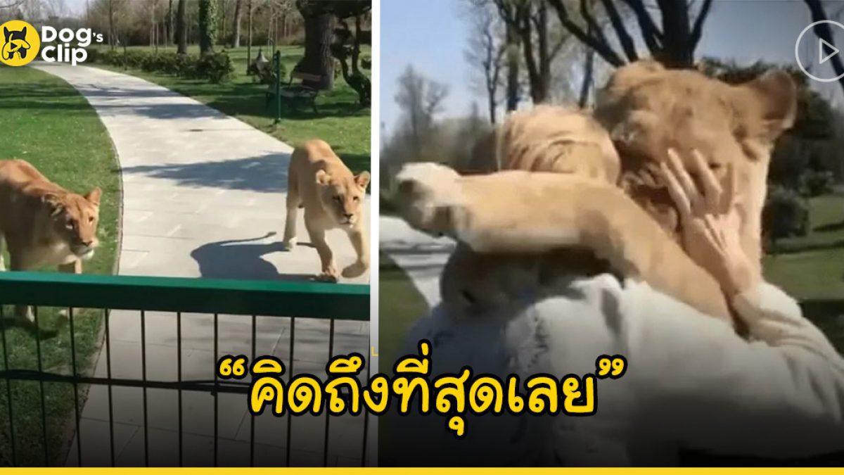 ภาพสุดประทับใจ! เมื่อสองสิงโตตัวโตกระโจนกอดหญิงสาวราวกับเป็นลูกแมวตัวน้อย