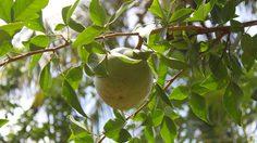 วิธีการเพาะและวิธีการดูแล ต้นมะตูม